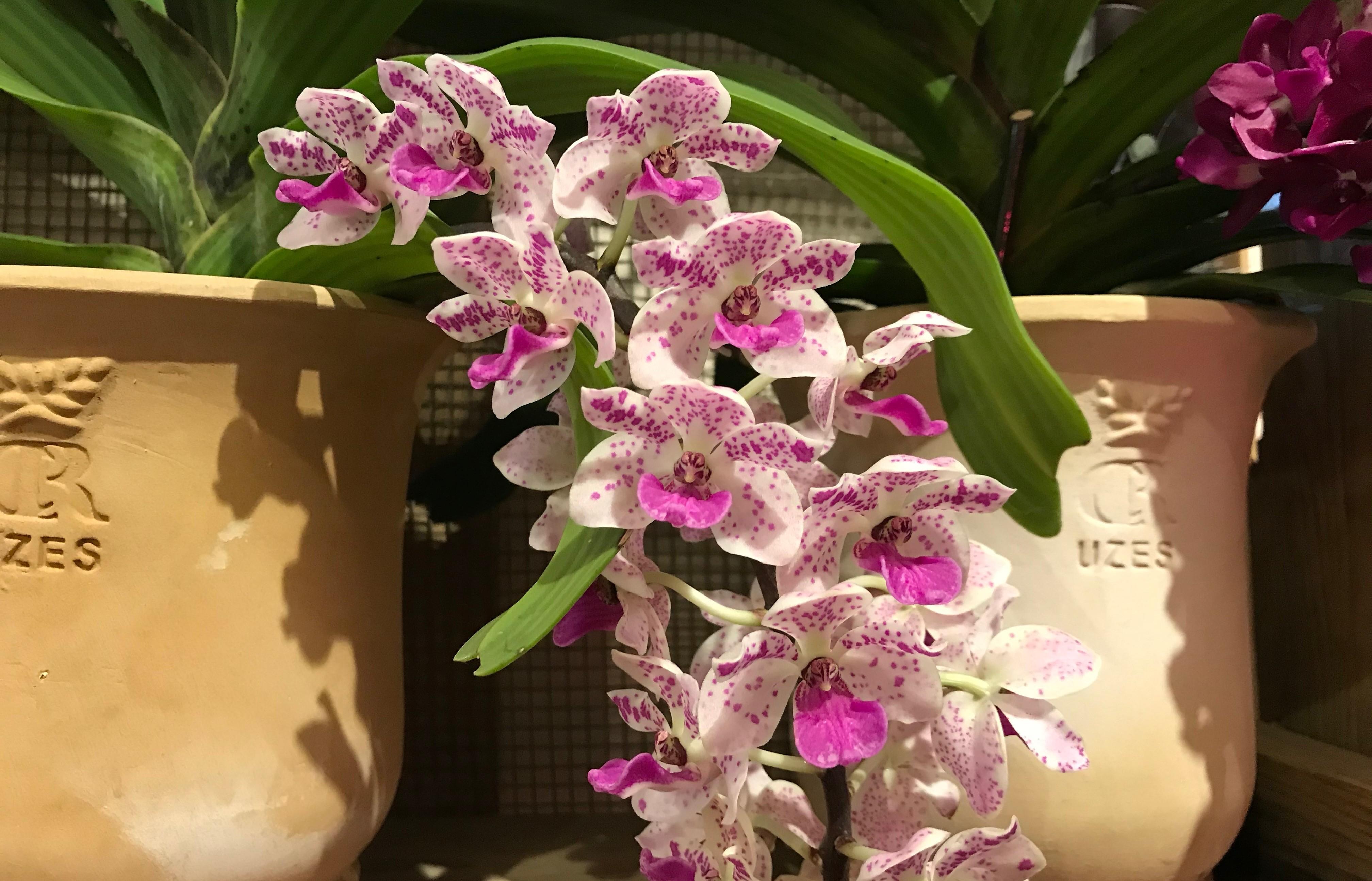 """""""CR Uzes classique """"et orchidée"""